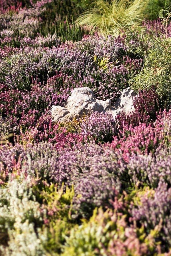 Piękny kwitnący łąkowy wrzosowisko, pionowo zdjęcia royalty free