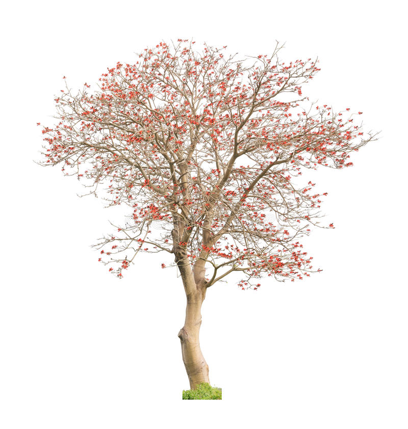 Piękny kwitnący czerwony koralowy drzewo zdjęcie royalty free
