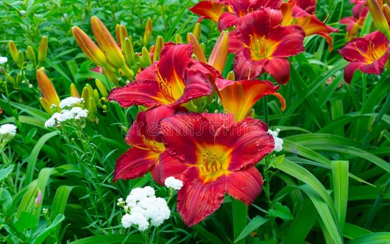 Piękny kwitnący czerwony lelui zakończenie obraz royalty free