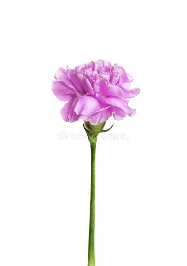 Piękny kwitnący fiołkowy goździk obraz royalty free