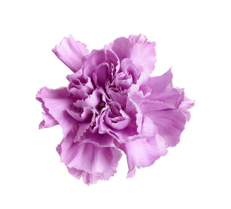 Piękny kwitnący fiołkowy goździk obraz stock