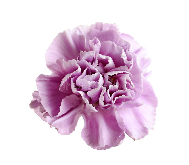 Piękny kwitnący fiołkowy goździk obrazy royalty free