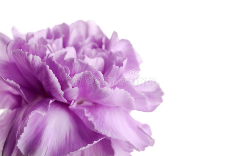 Piękny kwitnący fiołkowy goździk fotografia stock