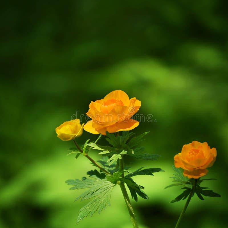 Piękny Kwitnący Globeflower kwiat dalej fotografia royalty free