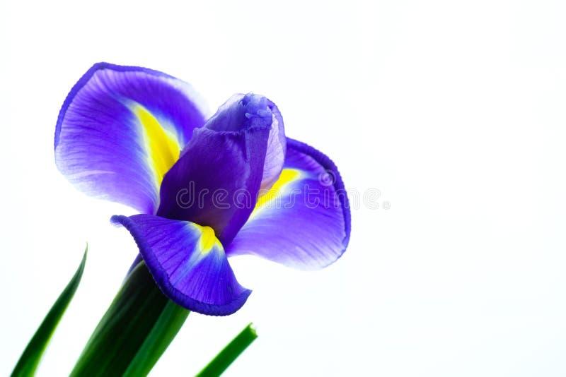 Piękny kwitnący irysowy kwiat na białym tle obraz stock