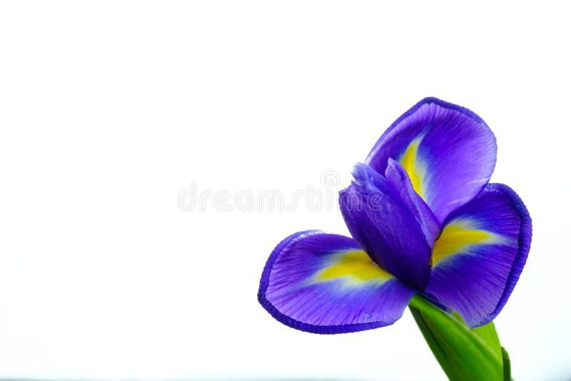 Piękny kwitnący irysowy kwiat na białym tle zdjęcia stock