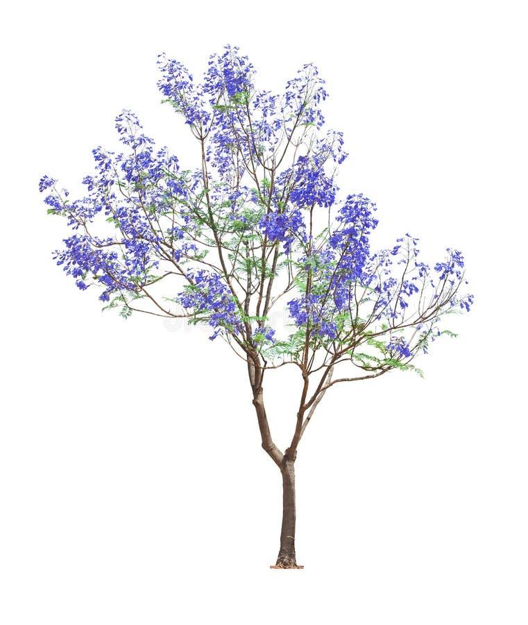 Piękny kwitnący Jacaranda drzewo fotografia stock