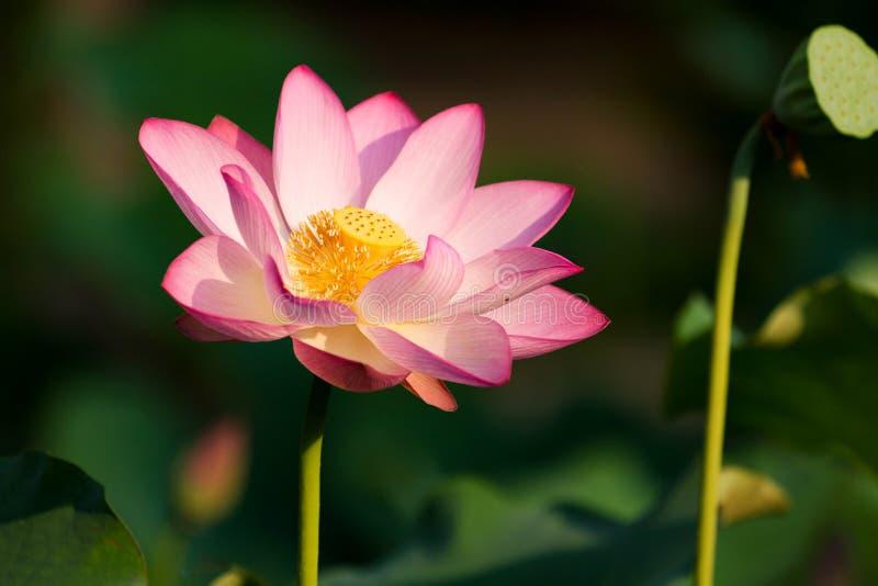 Piękny Kwitnący lotos obraz stock