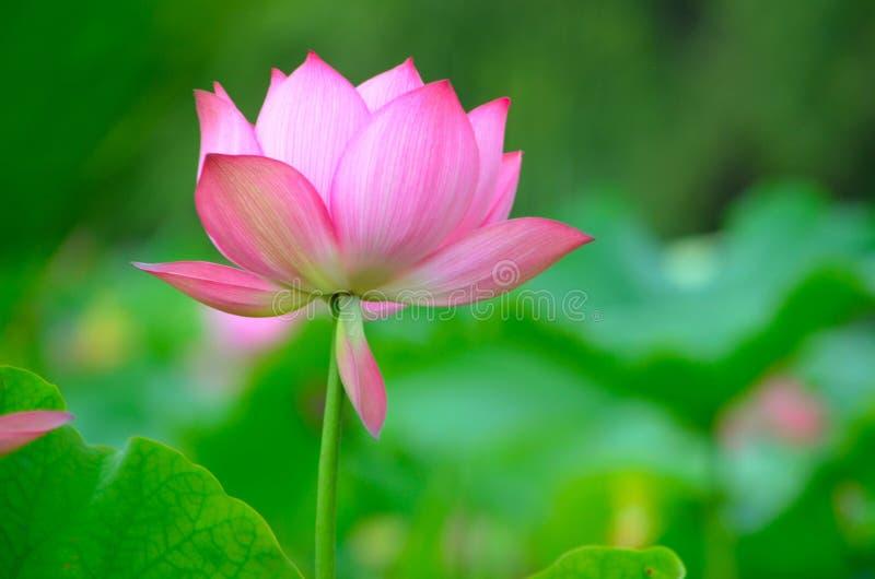Piękny Kwitnący lotos fotografia royalty free