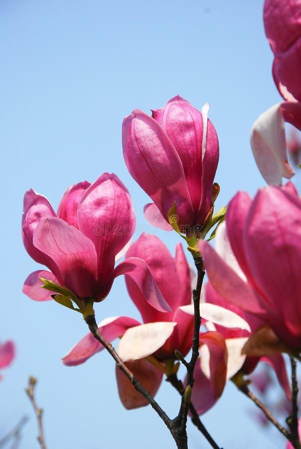 Piękny kwitnący magnoliowy kwiat w ogródzie zdjęcia royalty free