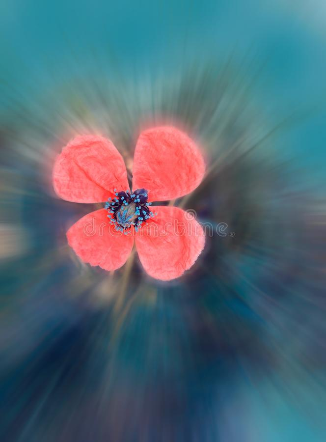 Piękny kwitnący makowy kwiat tonujący w rocznika stylu w brzoskwiniowych menchiach i cyraneczka kolorach Miękka część zamazujący  obrazy royalty free