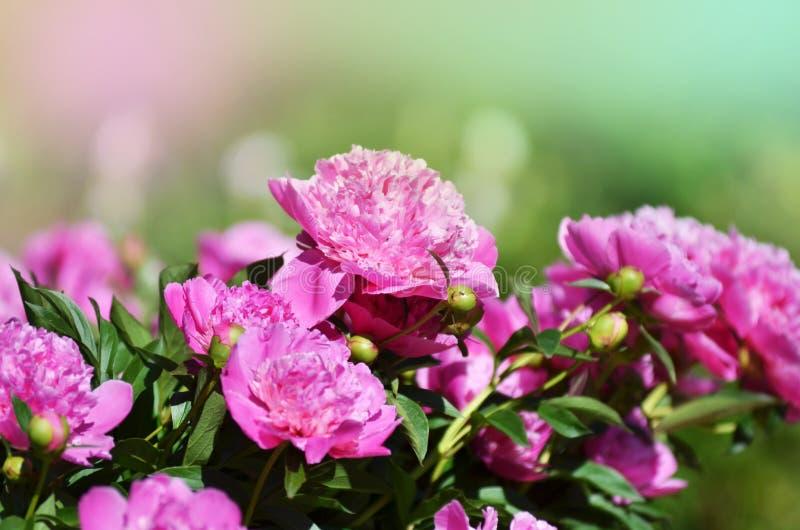 piękny kwitnący peonia krzak z menchiami kwitnie w ogródzie zdjęcie royalty free