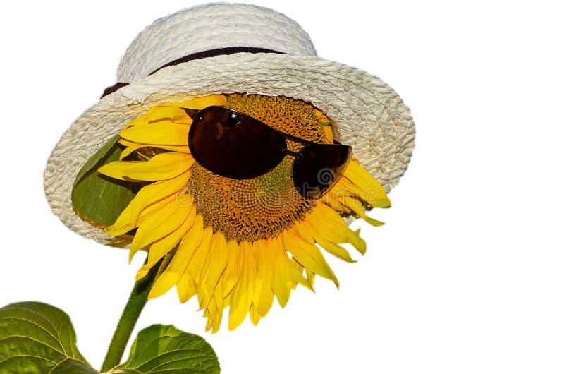 Piękny kwitnący słonecznik w słomianym kapeluszu słońc ochronnych szkłach na białym tle i, odosobniony słonecznik fotografia royalty free