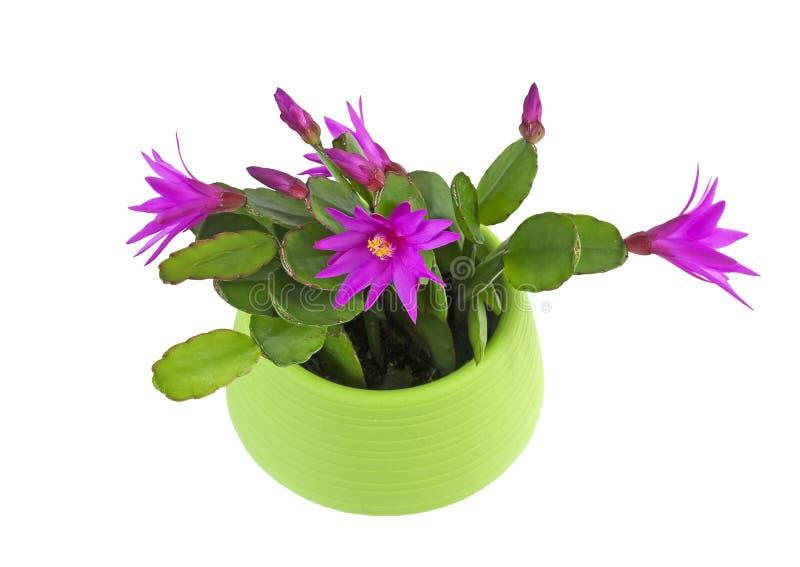 Piękny kwitnący Wielkanocny kaktus obraz stock