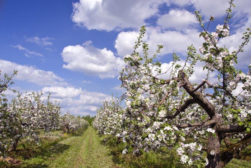Piękny kwitnie wiosny jabłoni sadu duży ogród fotografia stock