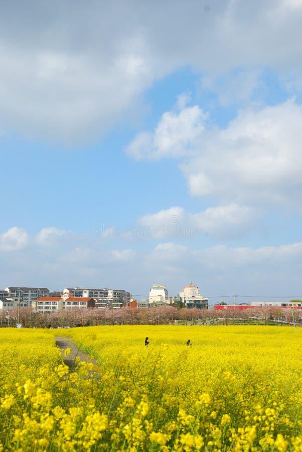 Piękny kwitnienie gwałt kwitnie i niebieskie niebo w wiośnie zdjęcia royalty free