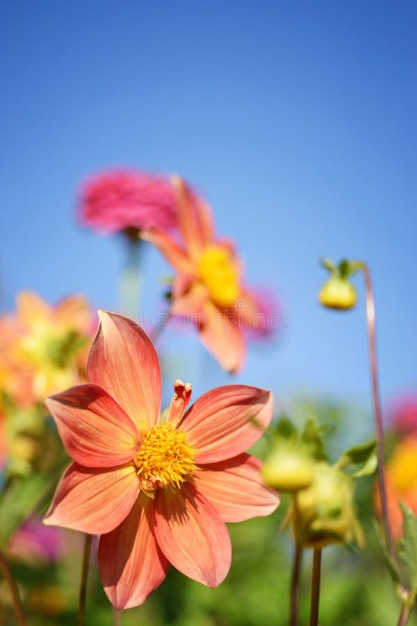 Piękny kwitnienie kwiat na Zielonej trawy i niebieskiego nieba tle obraz royalty free