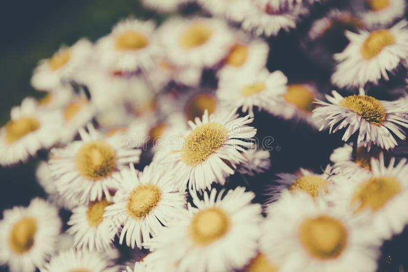 Piękny kwitnienie kwitnie w ogródzie, lata tło fotografia royalty free