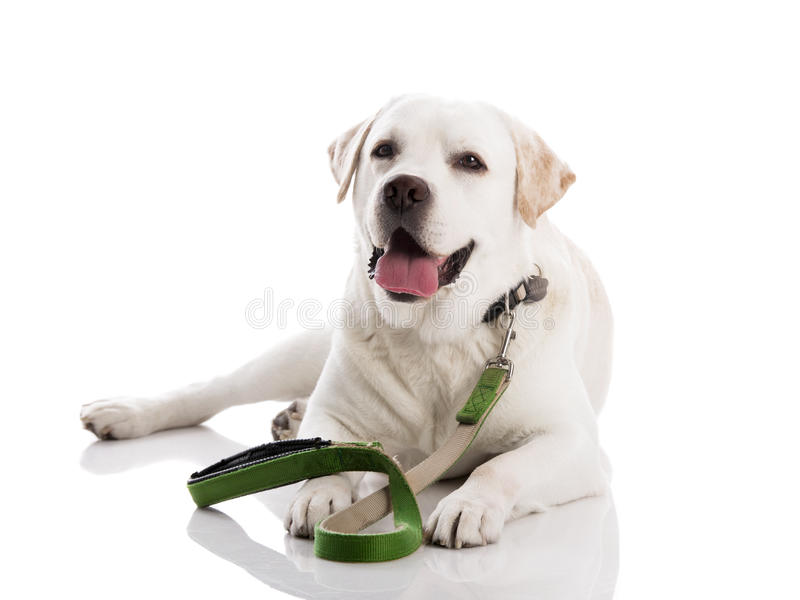 Piękny labrador fotografia stock