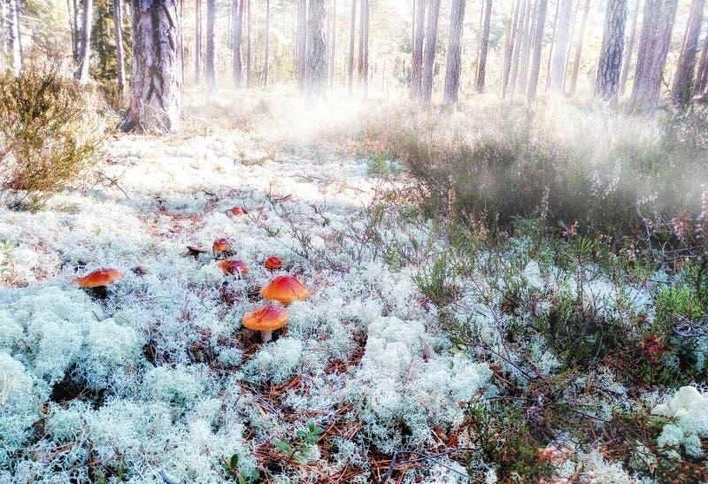 Piękny las i mgła zdjęcie royalty free