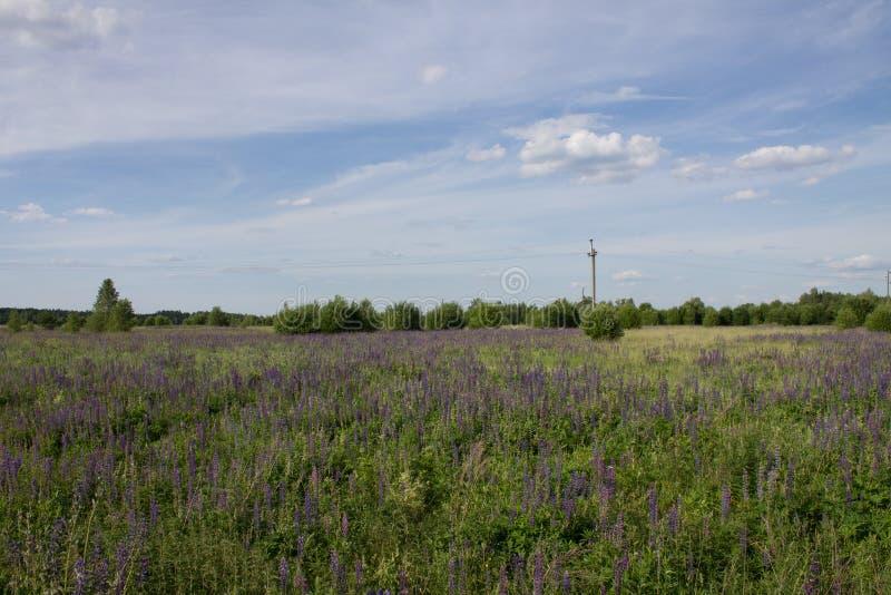 Piękny lato krajobraz z łąką purpury kwitnie łubiny na tle zielona trawa obraz royalty free