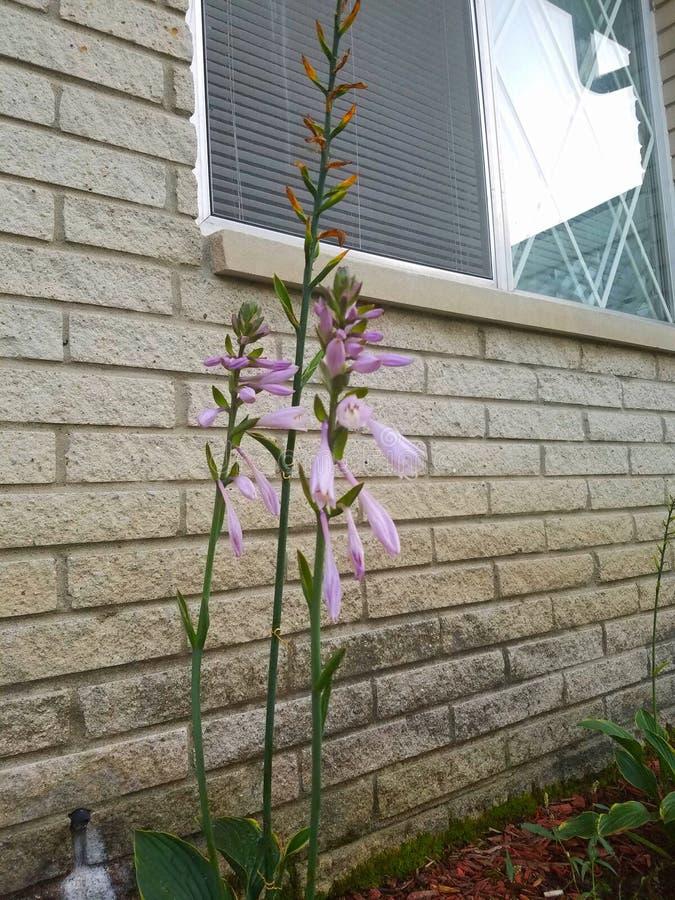 Piękny lawendowy kwiat zdjęcia royalty free