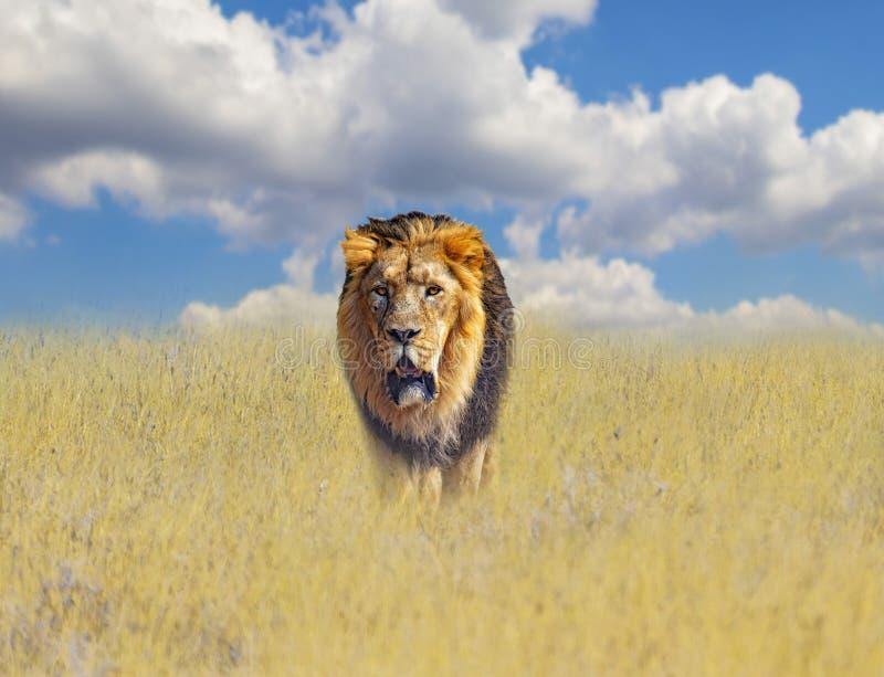 Piękny lew w złotej trawie sawanna w Afryka Za one jest niebieskie niebo r fotografia stock