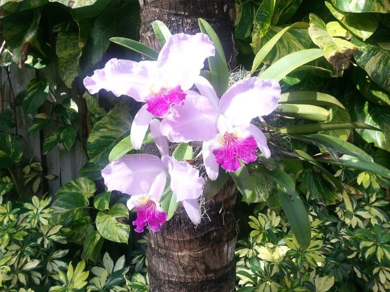 Piękny Lila Storczykowy kwiat w ogródach fotografia stock
