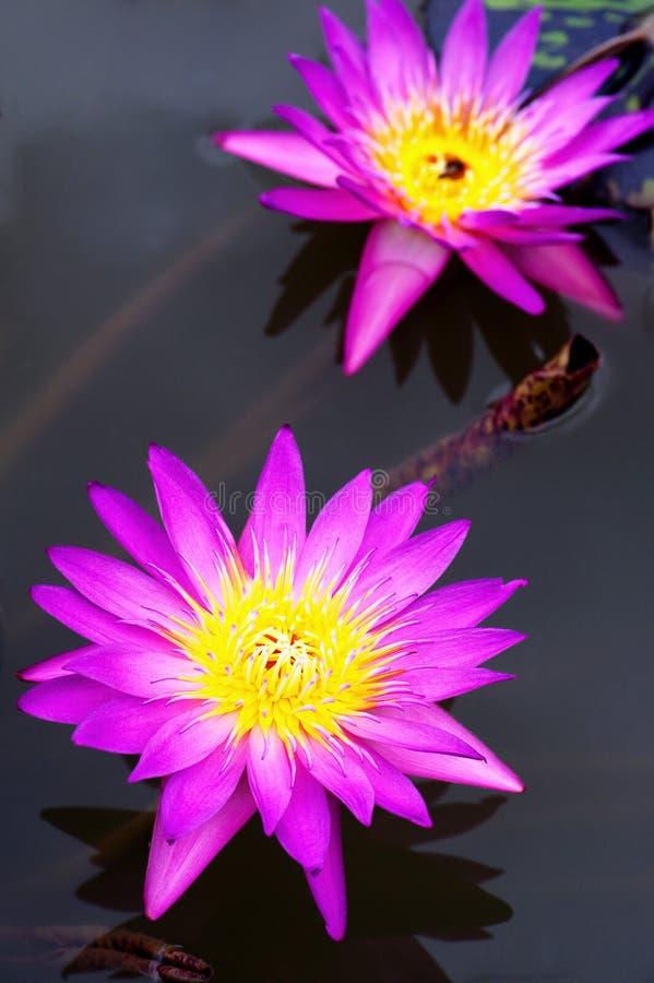 piękny lotos zdjęcie royalty free