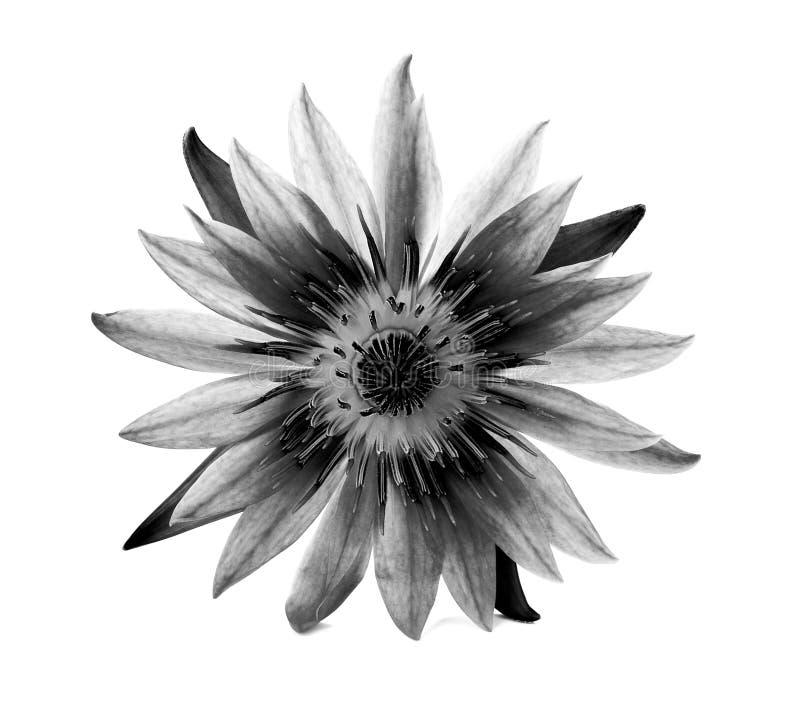 Piękny lotos (Pojedynczy lotosowy kwiat na białym tle obraz royalty free