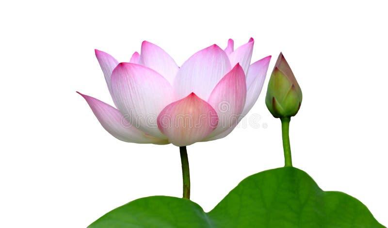 Piękny lotos (Pojedynczy lotosowy kwiat odizolowywający na białym tle fotografia stock