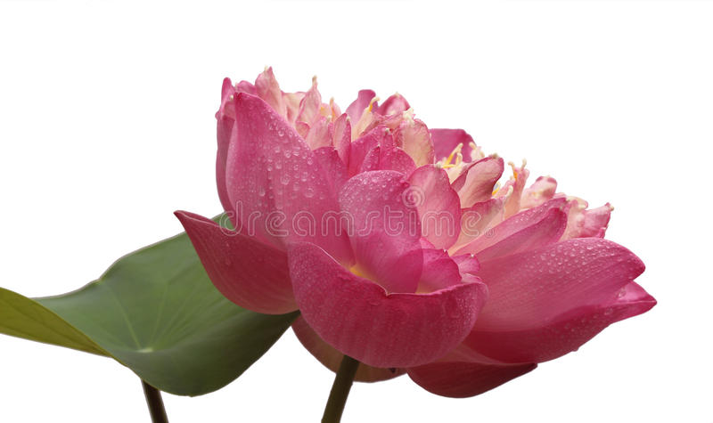 Piękny lotos (Pojedynczy lotosowy kwiat odizolowywający na białym tle obrazy stock