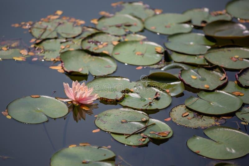 Piękny lotosowy kwiat w funcie na ranku zdjęcia stock