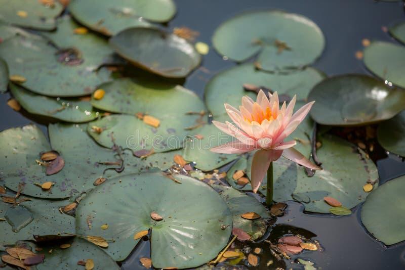 Piękny lotosowy kwiat w funcie na ranku zdjęcie royalty free