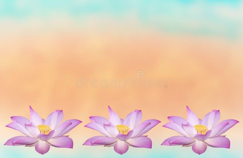 Piękny lotosowy kwiat w kwitnieniu fotografia royalty free