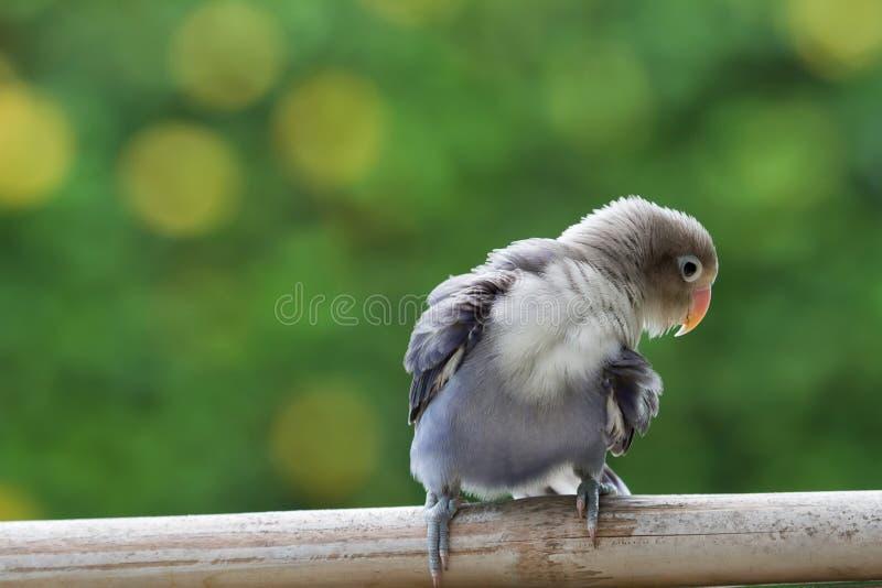 Piękny lovebird cleaing w górę on zdjęcia stock