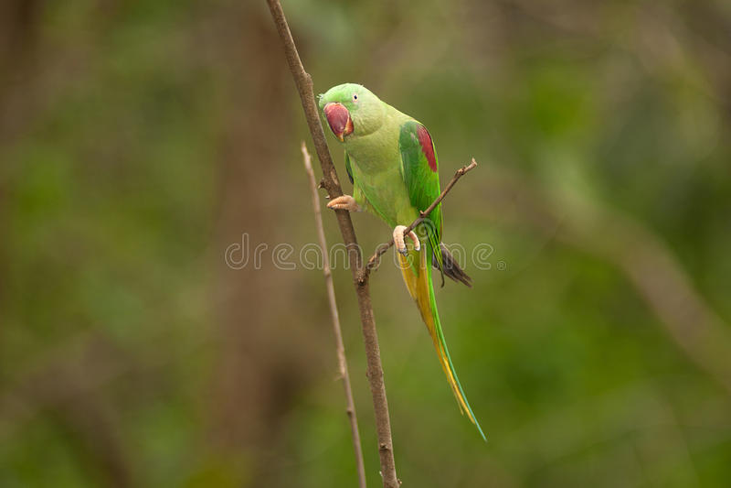 Piękny męski aleksandrynu Parakeet Psittacula eupatria zdjęcia stock