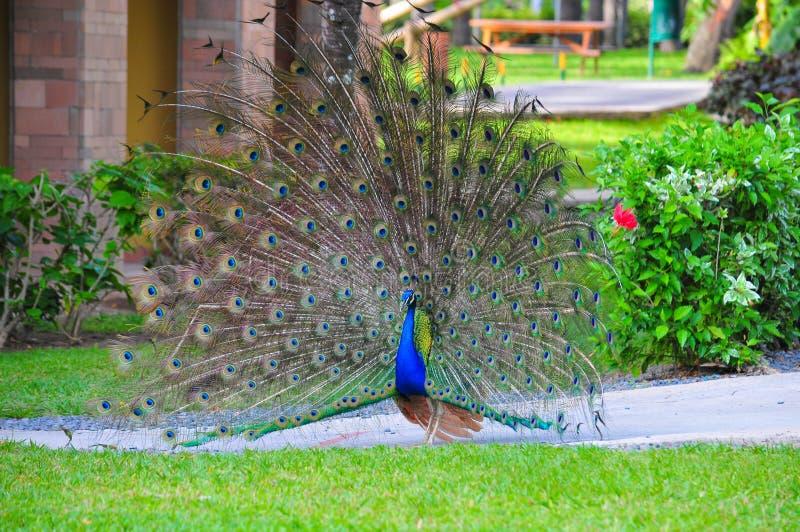 Piękny męski paw wystawia jego upierzenie zdjęcia royalty free