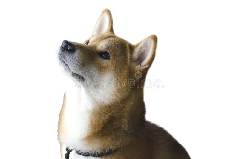 Piękny młody czerwień pies Shiba Inu traken obrazy royalty free