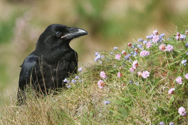 Piękny młody kruka Corvus otaczał wildflowers corax umieszczał na clifftop na Orkney, Szkocja obraz stock