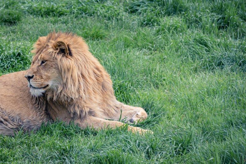 Piękny młody lew patrzeje z powrotem kłamającym na zielonej trawie, kopii przestrzeń obrazy stock