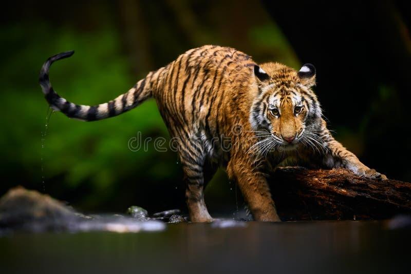 Piękny młody Syberyjski tygrys - Panthera Tigris altaica bawić się w rzece z dużym drewnem Akci przyrody scena obrazy royalty free