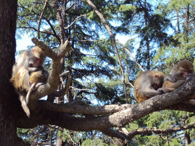 Piękny małpi dosypianie na drzewie obraz stock