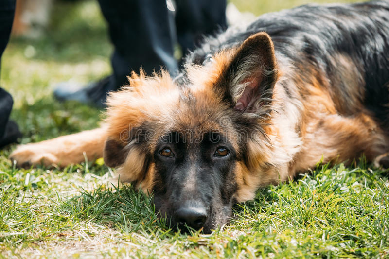 Piękny Mały Młody Czarny Niemieckiej bacy szczeniaka pies Odpoczywa Wewnątrz obrazy royalty free
