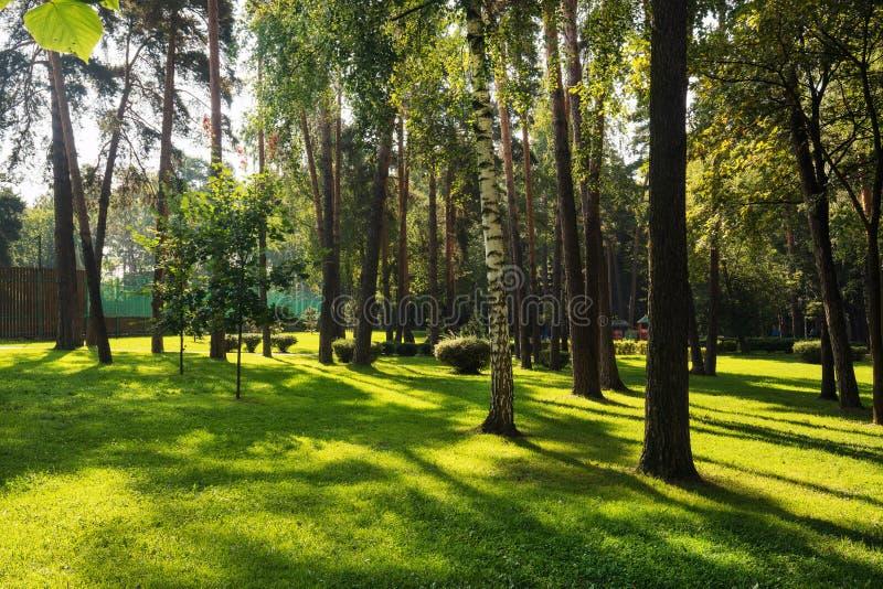 Piękny mały park z sosnami i brzozami obrazy royalty free