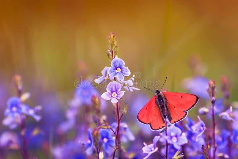 Piękny mały pomarańczowy motyli golubyanka Icarus siedzi na jasnej łące na delikatnych błękitnych kwiatach na Pogodnym jaskrawym  zdjęcie stock