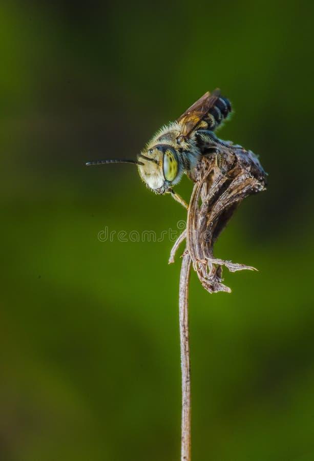 Piękny mały pszczoła insekt w Malaysia zdjęcie stock