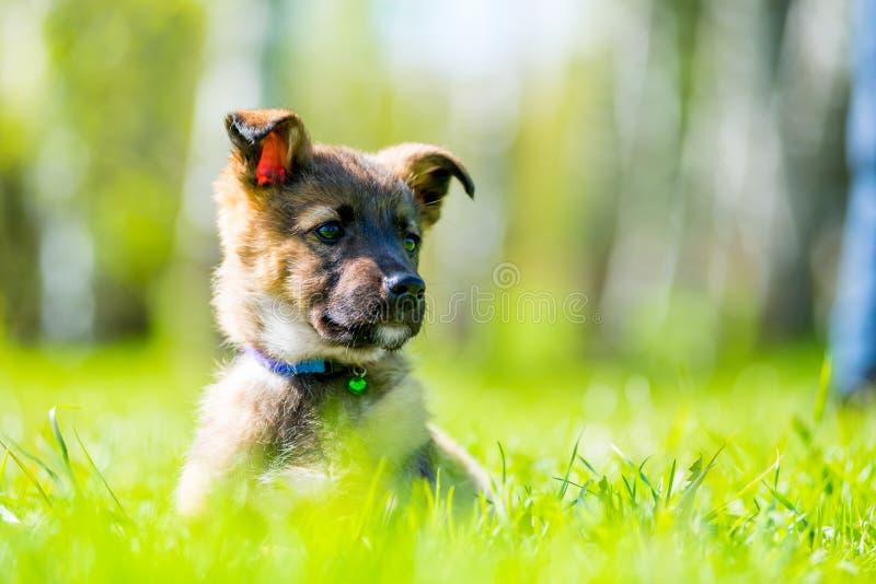 Piękny mały szczeniak pozuje siedzieć w zielonej trawie obraz royalty free