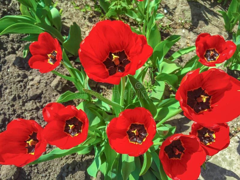 Piękny maczek kwitnie w ogródzie obraz stock