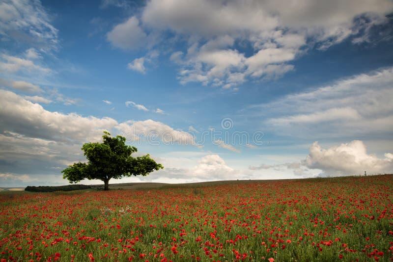 Piękny maczka pola krajobraz podczas zmierzchu z dramatycznym niebem fotografia royalty free